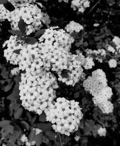 bridalwreath-black-and-white-s